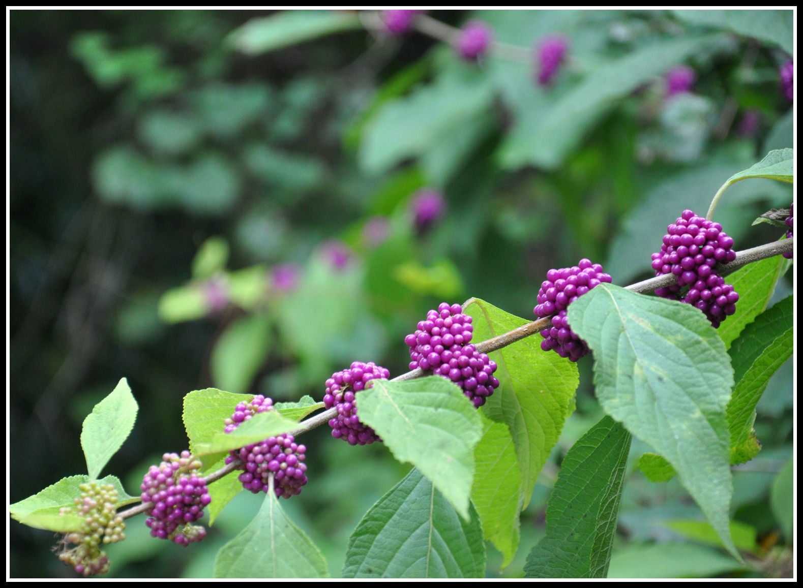 beautyberry (2)