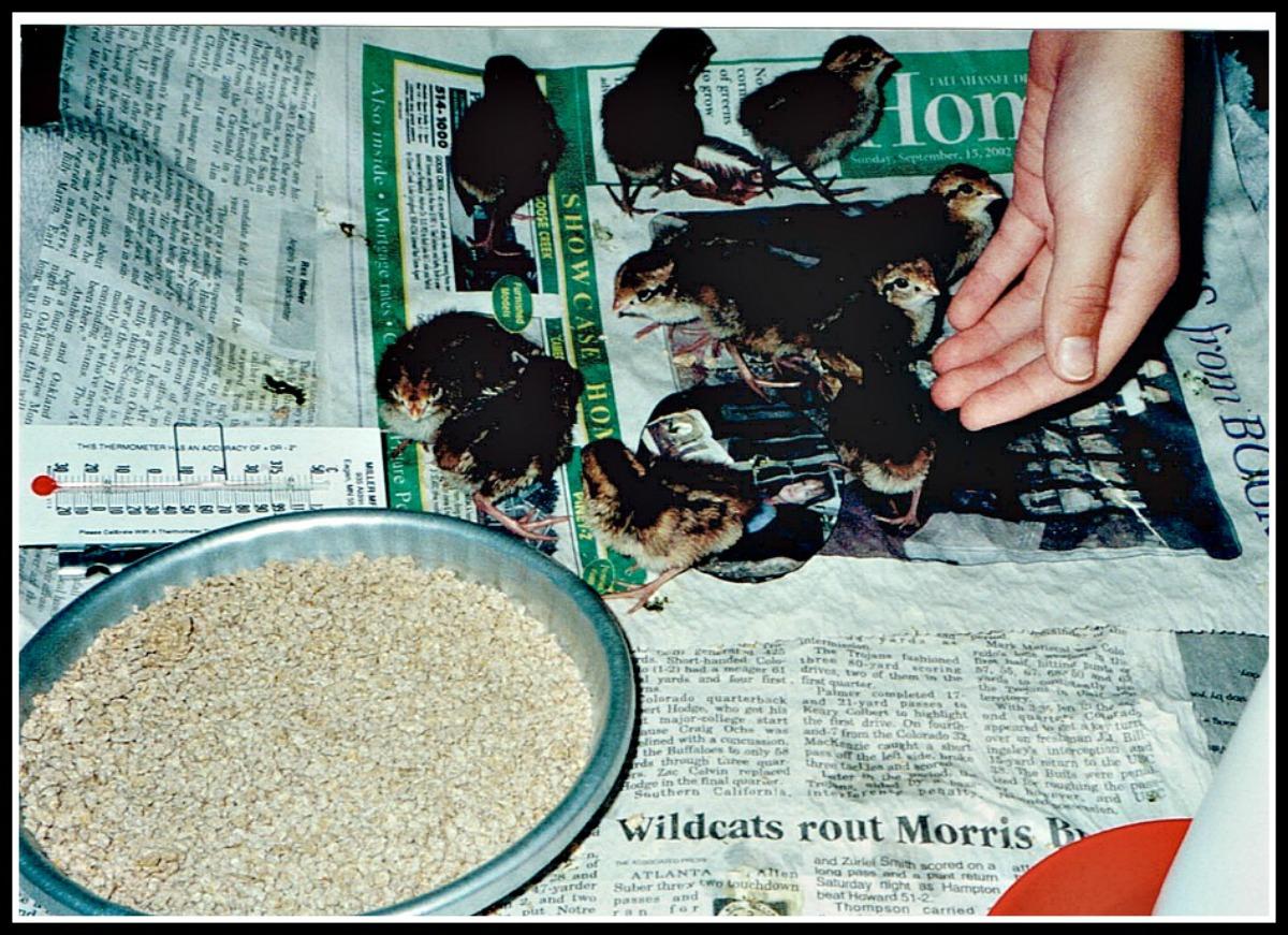 quail (bigger)