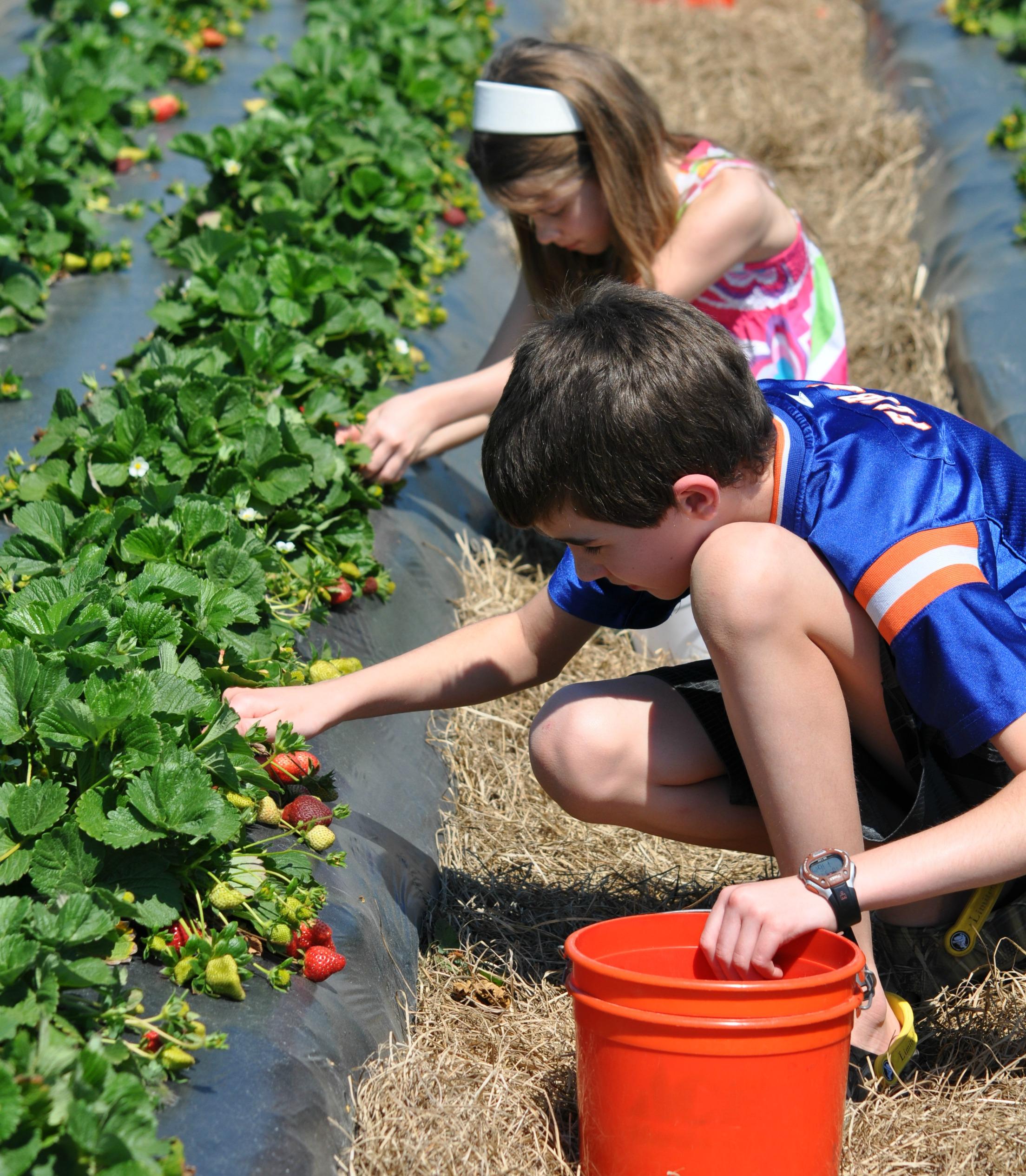 kids strawberry pick