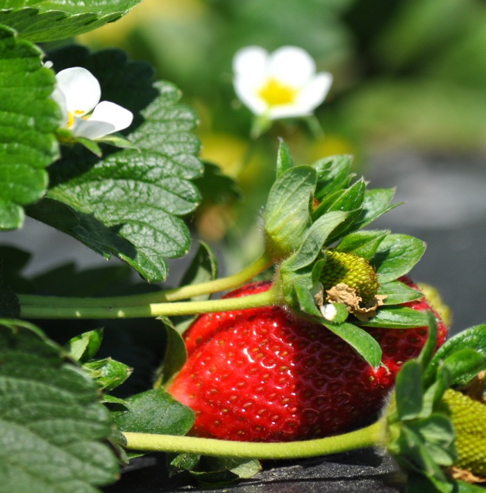 strawberry closeup